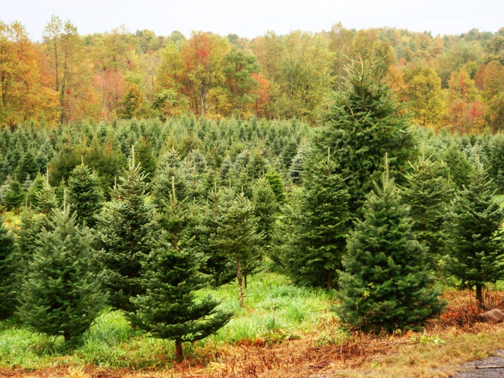 Farm-Fresh Christmas Trees Grown In New York State